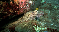Black spotted moray eel underwater in its hole amongst coral reef Stock Footage