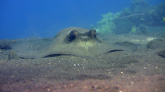 Blue-spotted stingray (Dasyatis kuhlii) digging the sand Stock Footage