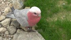 Goffin pink cockatoo in the reserve Stock Footage