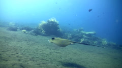 Blue-spotted stingray (Dasyatis kuhlii) swimming on the sand Stock Footage