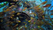 Stock Video Footage of Golden sweepers and cardinalfish inside an artificial reef on the ocean floor