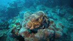 Large scribbled pufferfish on coral reef - stock footage