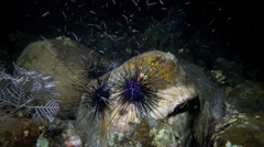 Longspine black sea urchin moving underwater at night Stock Footage