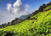 Stock Photo of mountain tea plantation in india