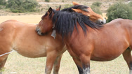 Stock Video Footage of horses fondling