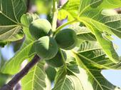 Stock Photo of green figs on tree