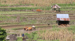 Balinese farmers plowing rice paddies using cattle Stock Footage