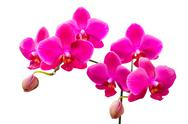 Stock Photo of vibrant colored lilac flowers of orchids