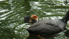 Common coot (fulica atra) feeds hatchling floating in ditch Stock Footage