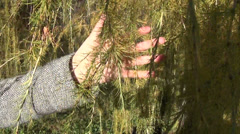 Hand touch colorful hang larch tree branches twigs in autumn Stock Footage