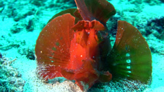 Paddle-flap scorpionfish (Rhinopias eschmeyeri) Stock Footage