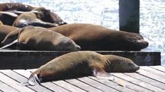 California Sea Lion 40s Stock Footage