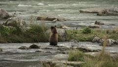 Cute Brown Bear Cub Playfully Chasing Salmon in River Stock Footage