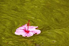 Hibiscus flower floating on algae infested water background Stock Photos