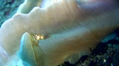 Disc anemone shrimp (Pliopontonia furtiva) Stock Footage