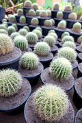 Spherical cactus in jardiniere. Stock Photos