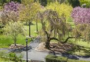 Stock Photo of Brooklyn Botanic Garden Cherry Pathways