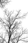 Stock Photo of bare tree branches on a white sky