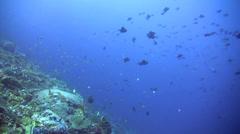 Redtooth triggerfish (Odonus niger) in school Stock Footage