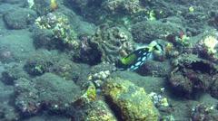 Clown triggerfish (Balistoides conspicillum) Stock Footage