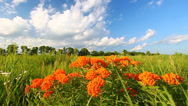 Stock Video Footage of Butterfly Milkweed (Asclepias tuberosa)