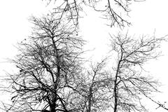 bare tree branches on a white sky - stock photo