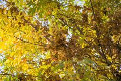 Keltaisia lehtiä puun syksyllä Kuvituskuvat
