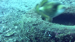 Titan triggerfish (Balistoides viridescens) with Yellow-margin triggerfish Stock Footage