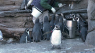 Stock Video Footage of Penguins, Feeding Time, Eating, Zookeeper, 4K
