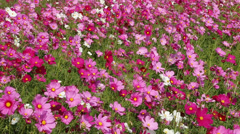 Beautiful cosmos flower in field with wind blow Stock Footage