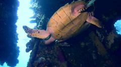 Hawksbill turtle (Eretmochelys imbricata) Stock Footage