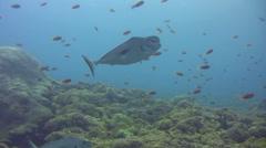 Humpnose unicornfish (Naso tuberosus) Stock Footage