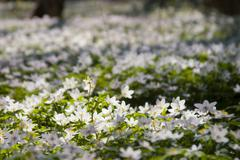Wood anemone (anemone nemorosa).gn Stock Photos