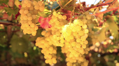 Ripe white grape inspected by farmer Stock Footage