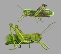 Grasshopper isolated - stock illustration