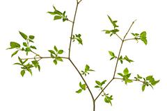 Stock Photo of Twig tree on a white background
