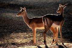 Backlit impala antelopes - stock photo