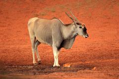 Eland antelope - stock photo