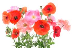 Field with different corn poppies - stock photo