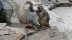 Monkeys, apes on rocks Stock Footage