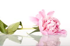 pink roses isolated on white - stock photo
