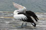 Stock Photo of Australian Pelican, Kangaroo Island
