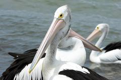 Australian Pelican, Kangaroo Island Stock Photos