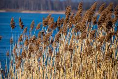 Common reed (phragmites) in the pogoria iii lake, poland. Stock Photos