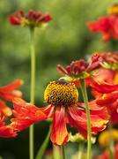 red orange and yellow flower - stock photo