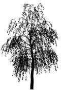 Birch. Stock Illustration