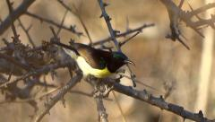 Yellow bellied sunbird Stock Footage