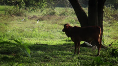 Sri Lanka-Cow and Igrits under tree Stock Footage