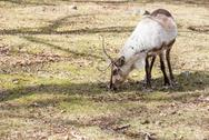 Stock Photo of reindeer, rangifer tarandus eating grass
