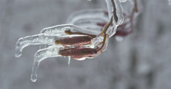 Hazel branch with catkins (aments) covered with ice - stock footage